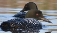 Loons of Lake 15