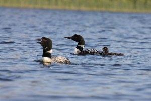 Lancaster Lake Loons_025#