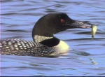Loon with perch