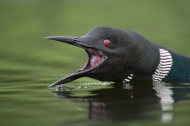 Round Lake Loons Suffer Attacks By AnotherLoon