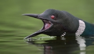 Round Lake Loons Suffer Attacks By Another Loon