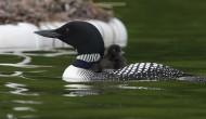 Larks Lake Chick