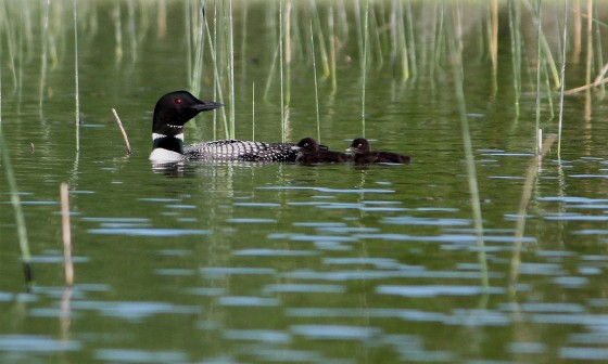 05#-Crooked Lk Loons-5x7