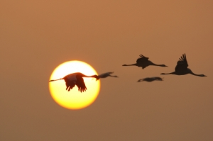 cranes-flying-sun