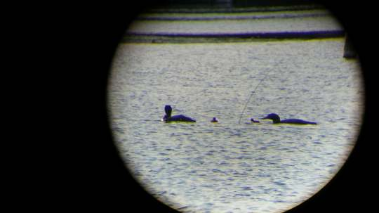 Round Loons2018d